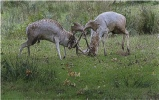 Fallow Deer Stags Rutting - Accepted (Colour PDI) - Roger Paxton