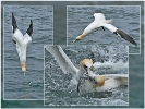 Greedy Gannets - Mike Wootton