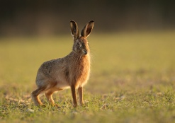 Brown Hare - Andy Snape